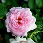 Rosa 'Home & Garden' - Roos - Rosa 'Home & Garden'