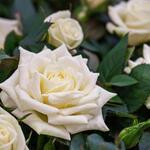 Rosa 'Madame Anisette' - Roos - Rosa 'Madame Anisette'
