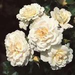Rosa 'Petticoat' - Roos - Rosa 'Petticoat'