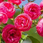 Rosa 'Pomponella' - Roos - Rosa 'Pomponella'