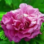 Rosa 'Purple Roadrunner' - Roos - Rosa 'Purple Roadrunner'