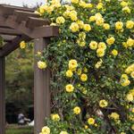 Rosa - climbing (geel) - Klimroos (geel) - Rosa - climbing (geel)