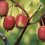 Actinidia arguta 'Ken's Red' - Kiwibes, minikiwi, kiwiberry - Actinidia arguta 'Ken's Red'