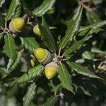 Quercus ilex - Steeneik - Quercus ilex