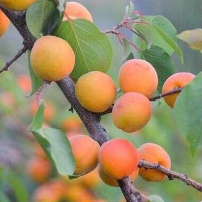 Prunus armeniaca 'Bergeron' -
