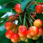 Prunus avium 'Bigarreau Coeur de Pigeon' - Prunus avium 'Bigarreau Coeur de Pigeon' - Kerselaar, Kersenboom, Zoete kers