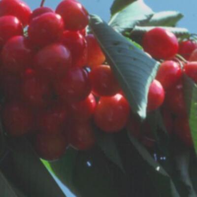 Prunus avium 'Bigarreau Napoleon' -