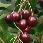 Prunus avium 'Sunburst' - Kerselaar, Kersenboom, Zoete kers - Prunus avium 'Sunburst'