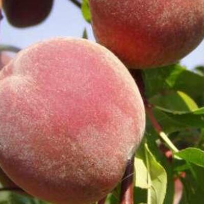 Prunus persica 'Fertile de Septembre' -