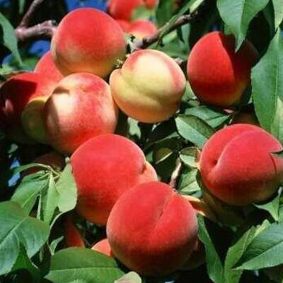 Prunus persica 'Charles Ingouf' -