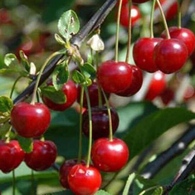 Prunus cerasus 'Morello' -