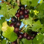 Ribes 'Josta' - Jostabes - Ribes 'Josta'
