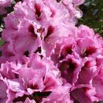 Rododendron - Rhododendron  'Kokardia'