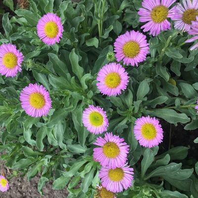 Fijnstraal - Erigeron glaucus 'Sea Breeze'