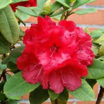 Rhododendron 'Red Jack' - Rododendron - Rhododendron 'Red Jack'