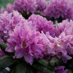 Rhododendron 'Rocket' - Rododendron - Rhododendron 'Rocket'