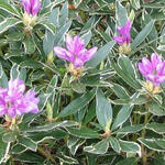 Rhododendron ponticum 'Variegatum' - Pontische rododendron - Rhododendron ponticum 'Variegatum'