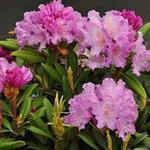 Rododendron - Rhododendron yakushimanum 'Caroline Allbrook'