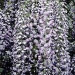 Blauwe regen - Wisteria floribunda 'Multijuga'