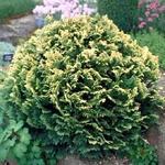 Chamaecyparis lawsoniana 'Pygmaea Argentea' - Schijncipres - Chamaecyparis lawsoniana 'Pygmaea Argentea'