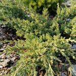 Juniperus horizontalis 'Prince of Wales' - Jeneverbes - Juniperus horizontalis 'Prince of Wales'
