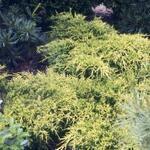 Juniperus x pfitzeriana 'Wilhelm Pfitzer' - Jeneverbes - Juniperus x pfitzeriana 'Wilhelm Pfitzer'