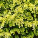 Taxus baccata 'Semperaurea' - Gele venijnboom - Taxus baccata 'Semperaurea'