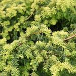 Taxus baccata 'Summergold' - Venijnboom - Taxus baccata 'Summergold'