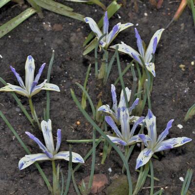 Iris reticulata 'Painted Lady' -