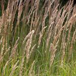 Calamagrostis epigejos - Duinriet - Calamagrostis epigejos