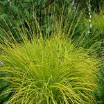 Carex elata - Stijve zegge - Carex elata