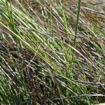 Liefdesgas - Eragrostis curvula 'Totnes Burgundy'