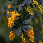 Berberis linearifolia 'Orange King' - Zuurbes - Berberis linearifolia 'Orange King'