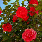 Camellia japonica (Rood) - Camelia - Camellia japonica (Rood)