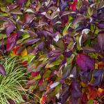 Cornus alba 'Baton Rouge' - Witte kornoelje - Cornus alba 'Baton Rouge'