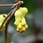 Schijnhazelaar - Corylopsis spicata