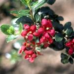 Escallonia  'C.F. Ball' - Escallonia - Escallonia  'C.F. Ball'