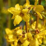 Forsythia x intermedia 'Week-End' - Chinees klokje - Forsythia x intermedia 'Week-End'