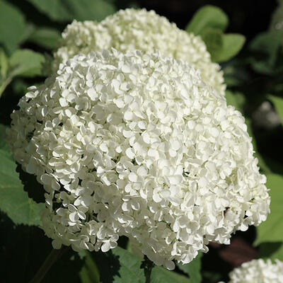 Hydrangea arborescens 'Hills of Snow' -