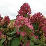 Hydrangea paniculata 'Mega Mindy'  - Pluimhortensia - Hydrangea paniculata 'Mega Mindy'