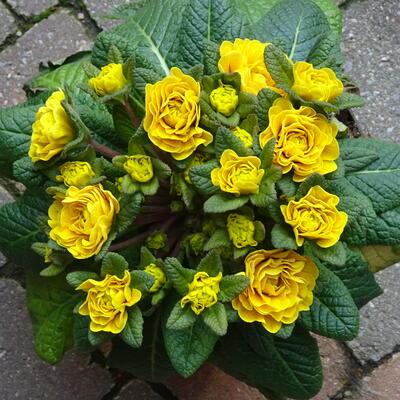 Primula vulgaris BELARINA 'Goldie' -
