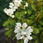 Exochorda racemosa 'Magical Springtime' - Exochorda racemosa 'Magical Springtime' - Parelstruik