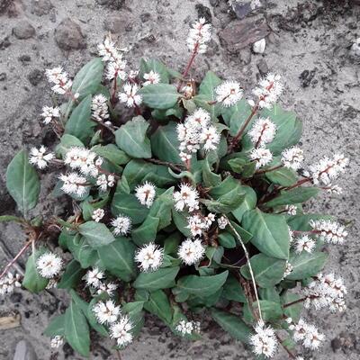 Persicaria tenuicaulis -