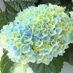 Hydrangea 'MAGICAL Revolution' - Hydrangea 'MAGICAL Revolution' - Hortensia