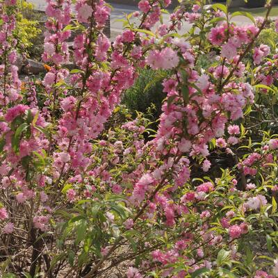 Prunus glandulosa 'Rosea Plena' -