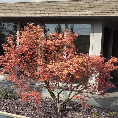 Acer Palmatum 'Deshojo' -