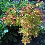 Spiraea japonica 'Magic Carpet' - Spierstruik - Spiraea japonica 'Magic Carpet'