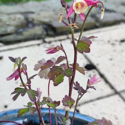 Aquilegia vulgaris 'WINKY Red-White' -