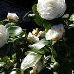 Camellia japonica 'Nobilissima' - Camellia japonica 'Nobilissima' - Camelia