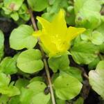 Lysimachia nummularia 'Aurea' - Bontbladige penningkruid - Lysimachia nummularia 'Aurea'